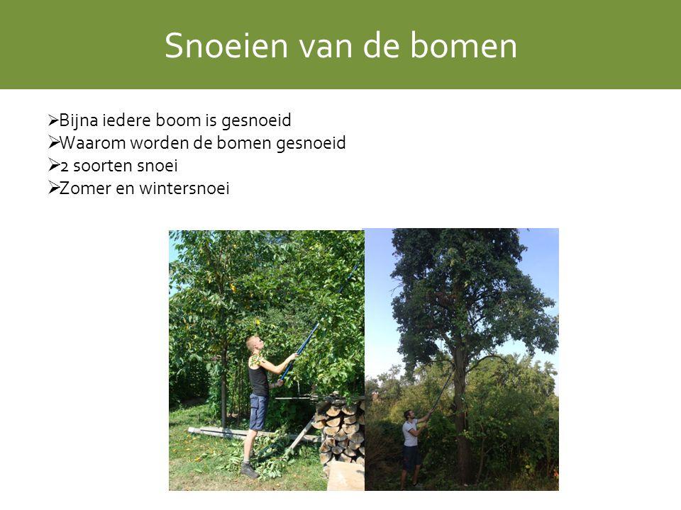 Snoeien van de bomen  Bijna iedere boom is gesnoeid  Waarom worden de bomen gesnoeid  2 soorten snoei  Zomer en wintersnoei