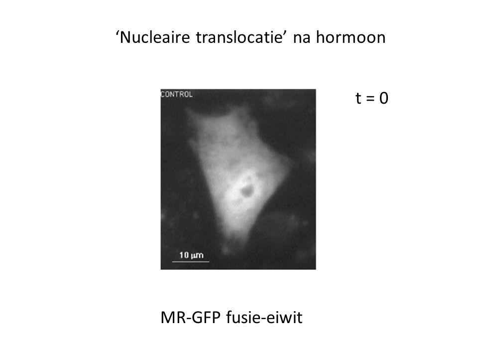 t = 0 MR-GFP fusie-eiwit 'Nucleaire translocatie' na hormoon