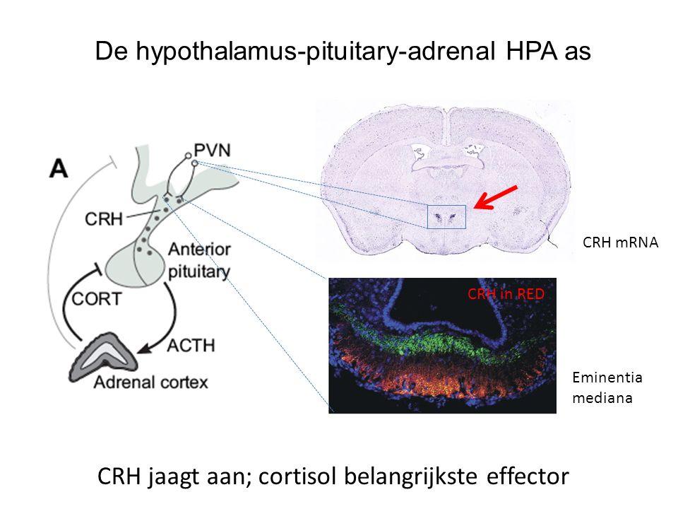 De hypothalamus-pituitary-adrenal HPA as CRH jaagt aan; cortisol belangrijkste effector CRH mRNA Eminentia mediana CRH in RED
