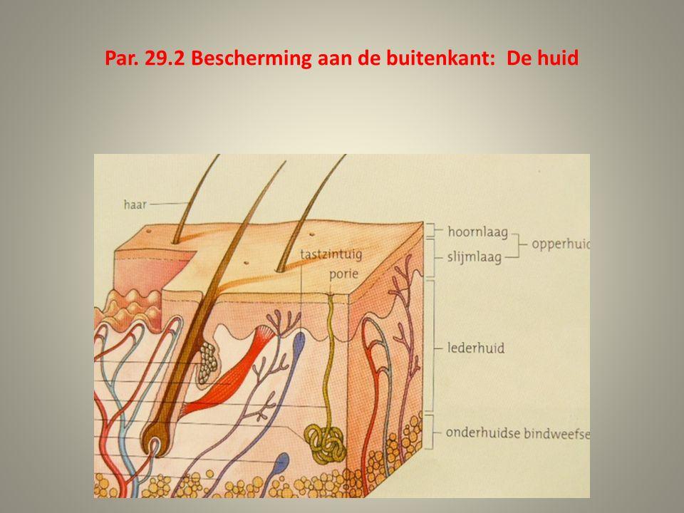 Melanocyten (pigmentcellen) in de slijmlaag: beschermen tegen UV-straling; de huid wordt bruin