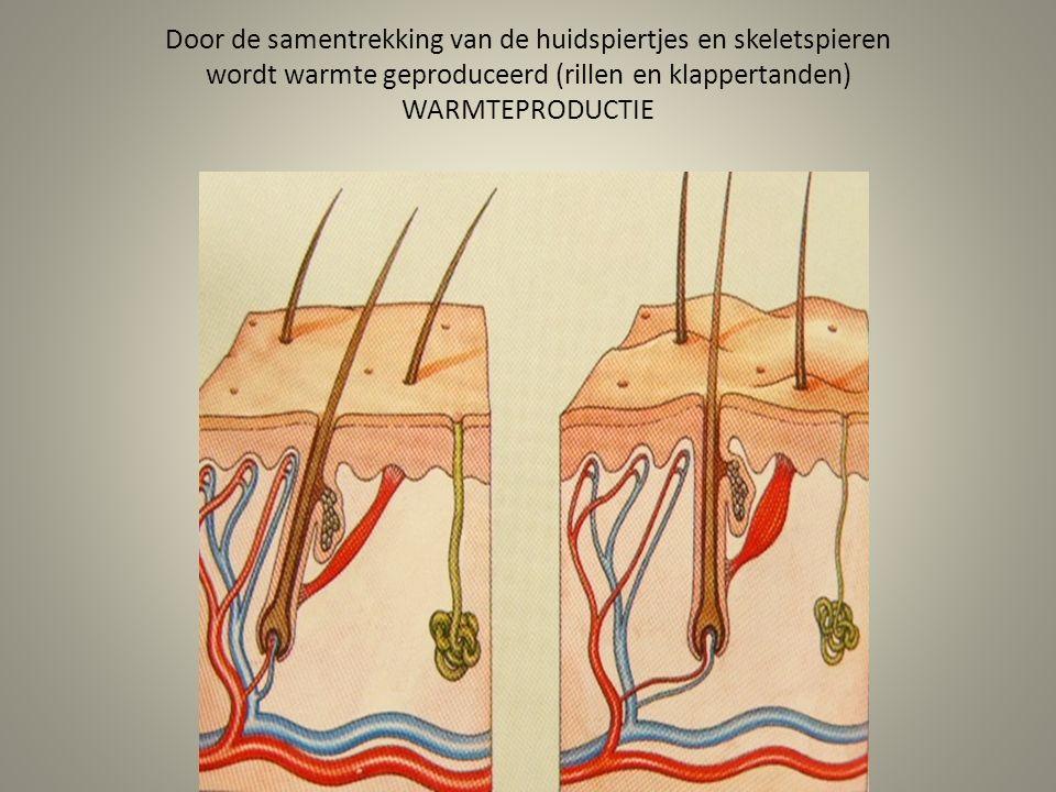 Door de samentrekking van de huidspiertjes en skeletspieren wordt warmte geproduceerd (rillen en klappertanden) WARMTEPRODUCTIE