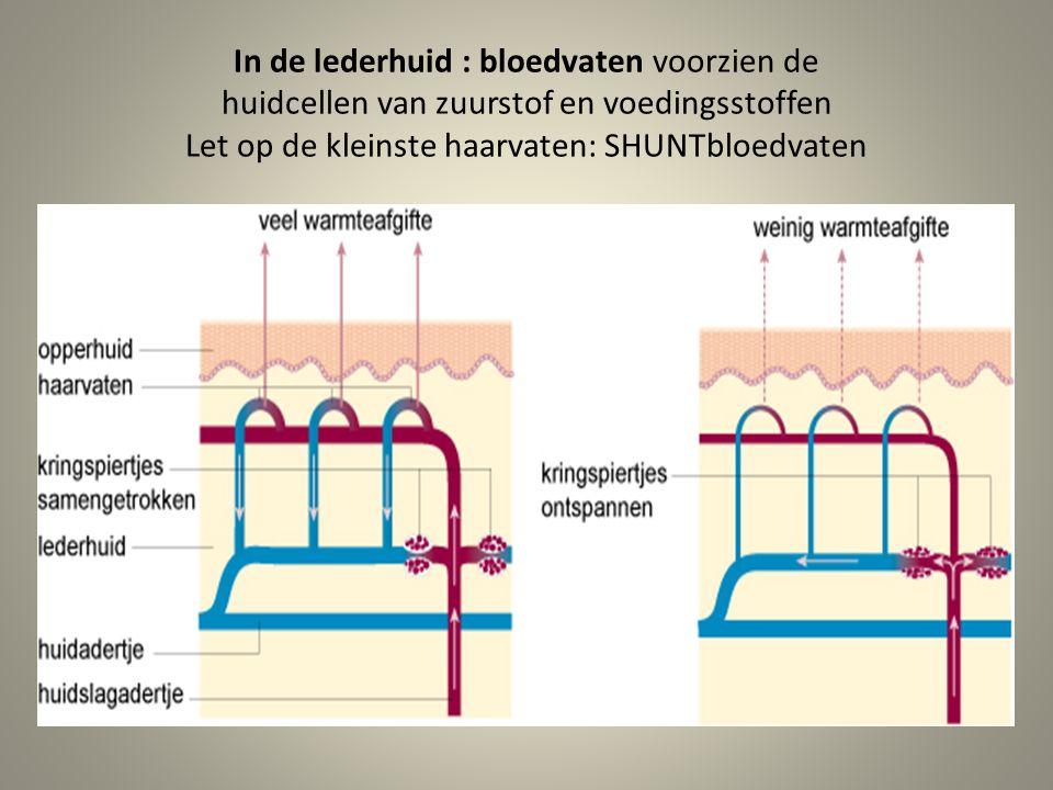 In de lederhuid : bloedvaten voorzien de huidcellen van zuurstof en voedingsstoffen Let op de kleinste haarvaten: SHUNTbloedvaten