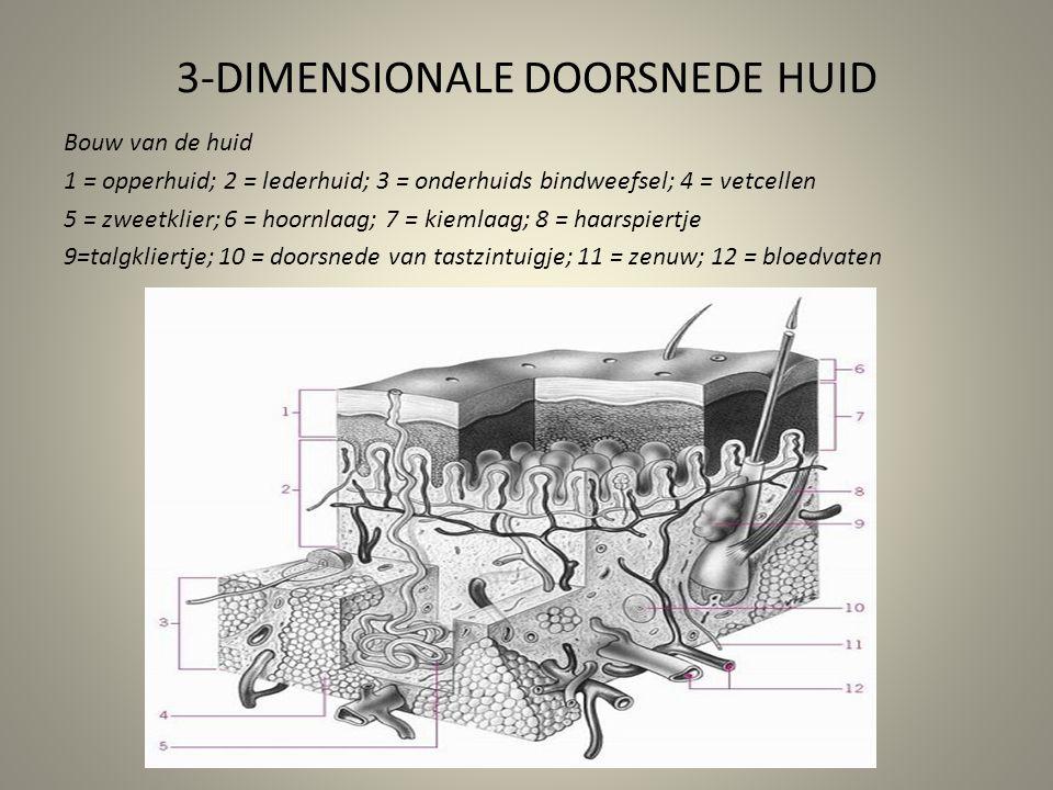 3-DIMENSIONALE DOORSNEDE HUID Bouw van de huid 1 = opperhuid; 2 = lederhuid; 3 = onderhuids bindweefsel; 4 = vetcellen 5 = zweetklier; 6 = hoornlaag;