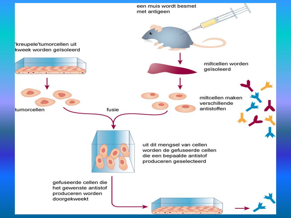 21.7.3 Monoklonale antistoffen 2 De productie van monoklonale antistoffen 1 x klikken