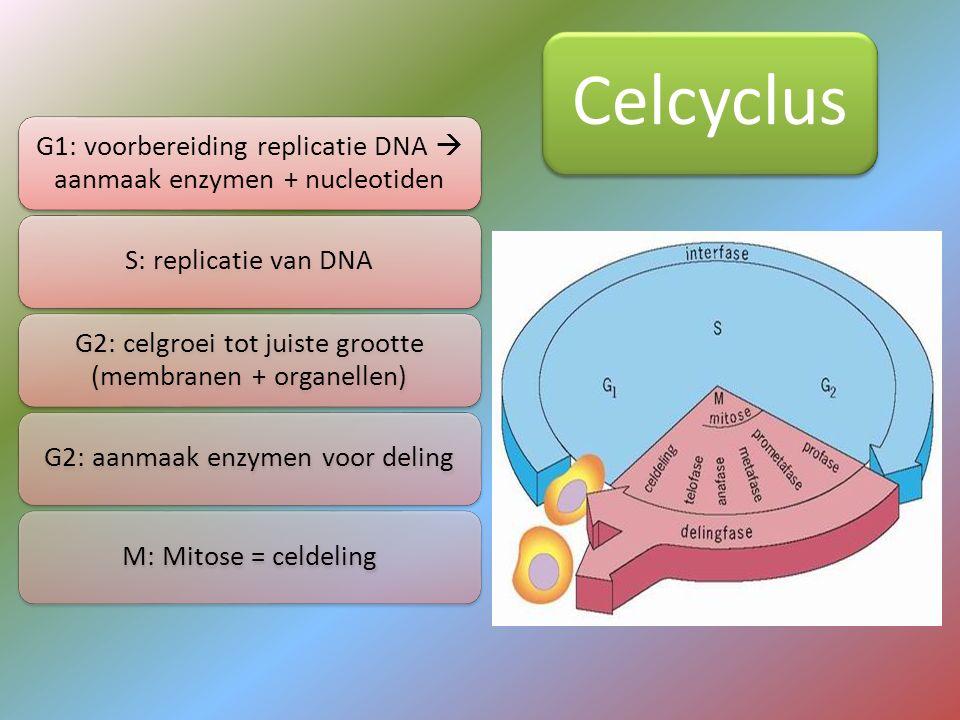 Celcyclus G1: voorbereiding replicatie DNA  aanmaak enzymen + nucleotiden S: replicatie van DNA G2: celgroei tot juiste grootte (membranen + organell