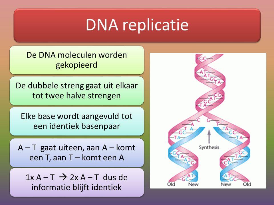 DNA replicatie De DNA moleculen worden gekopieerd De dubbele streng gaat uit elkaar tot twee halve strengen Elke base wordt aangevuld tot een identiek