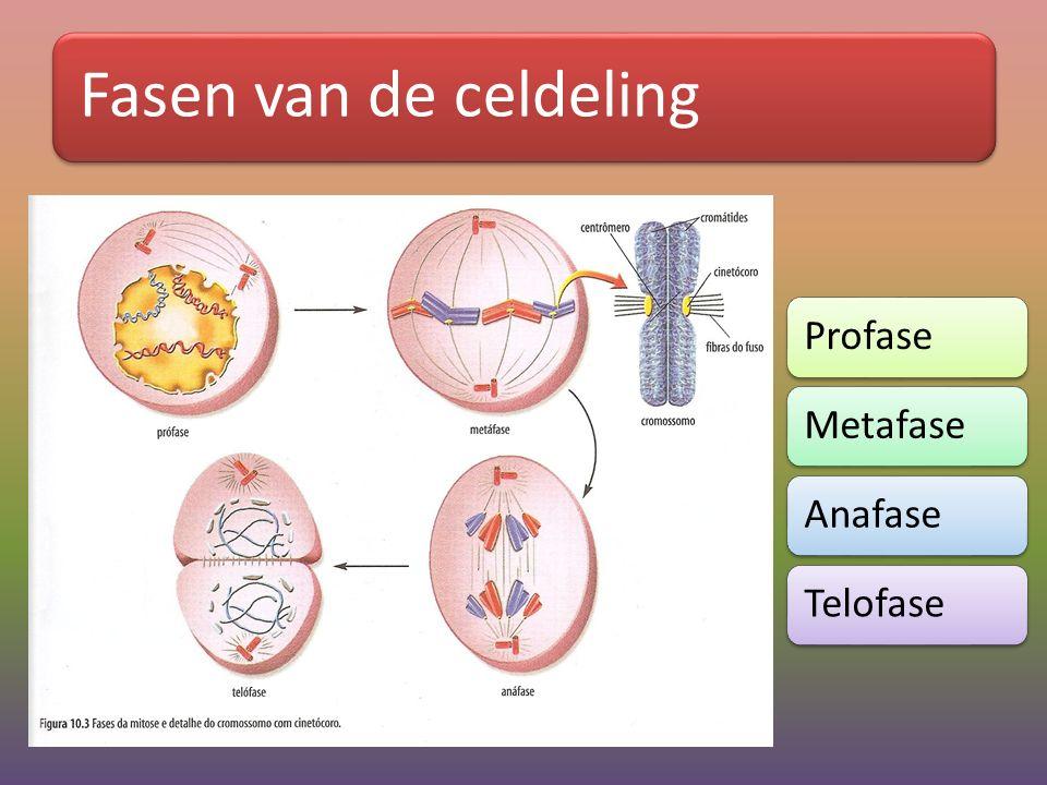 Fasen van de celdeling ProfaseMetafaseAnafaseTelofase