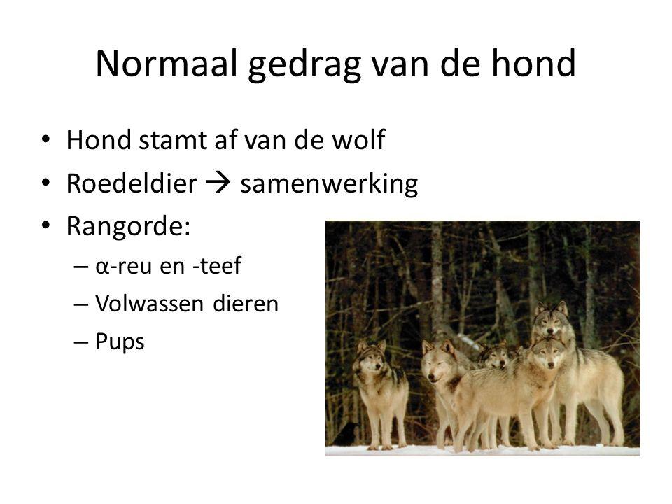 Normaal gedrag van de hond Hond stamt af van de wolf Roedeldier  samenwerking Rangorde: – α-reu en -teef – Volwassen dieren – Pups