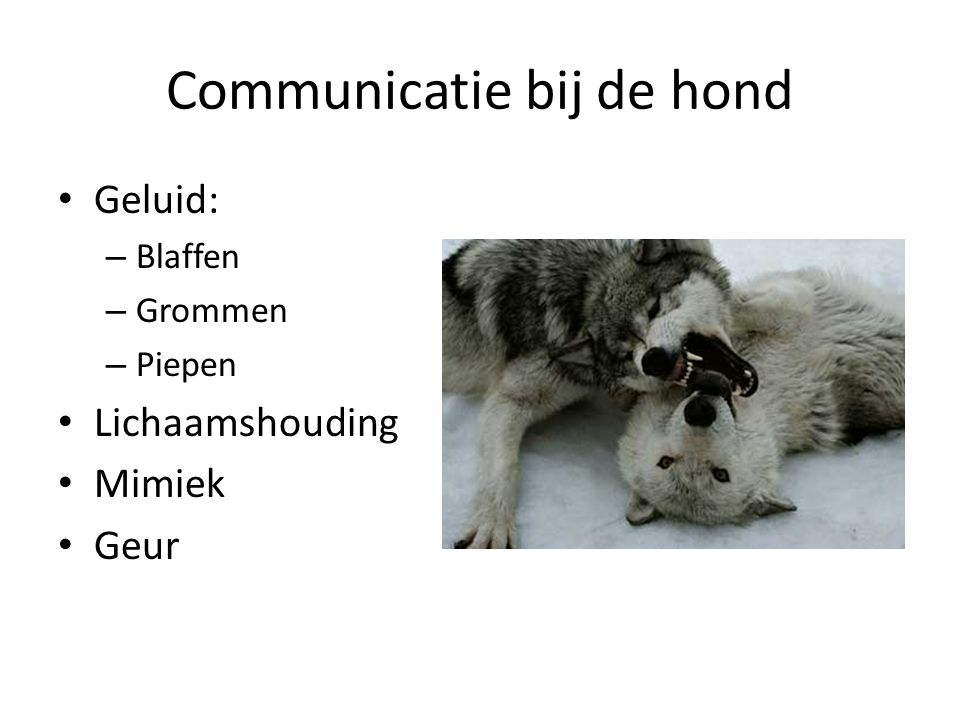 Communicatie bij de hond Geluid: – Blaffen – Grommen – Piepen Lichaamshouding Mimiek Geur
