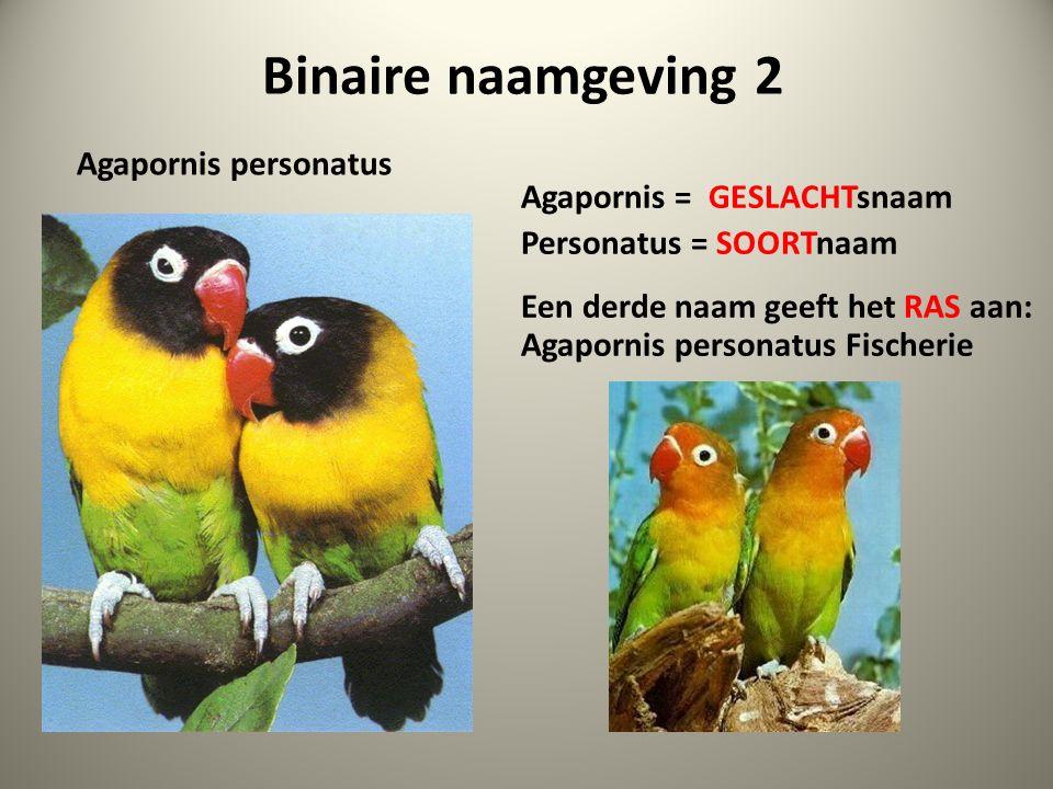 Binaire naamgeving 2 Agapornis personatus Agapornis = GESLACHTsnaam Personatus = SOORTnaam Een derde naam geeft het RAS aan: Agapornis personatus Fischerie