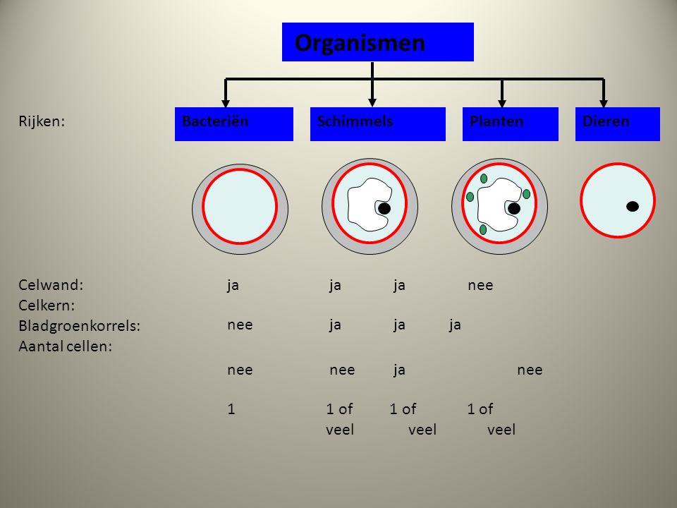 Organismen BacteriënSchimmelsPlantenDieren ja ja ja nee Rijken: nee nee ja nee nee ja ja ja 1 1 of 1 of 1 of veel veel veel Celwand: Celkern: Bladgroenkorrels: Aantal cellen: