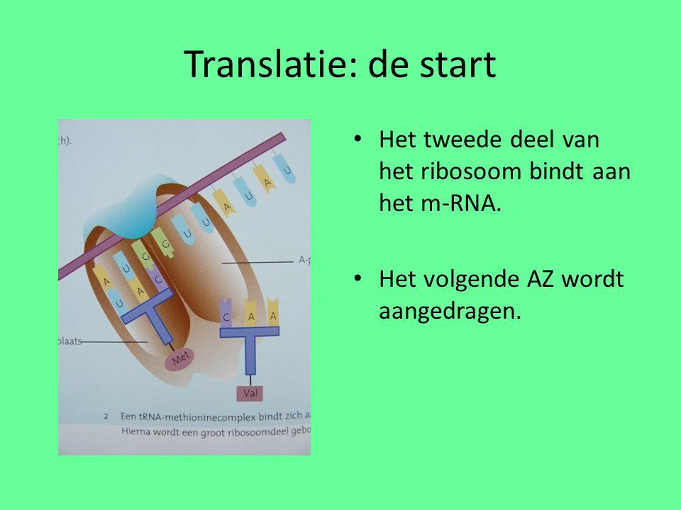 Translatie: de start Het tweede deel van het ribosoom bindt aan het m-RNA.