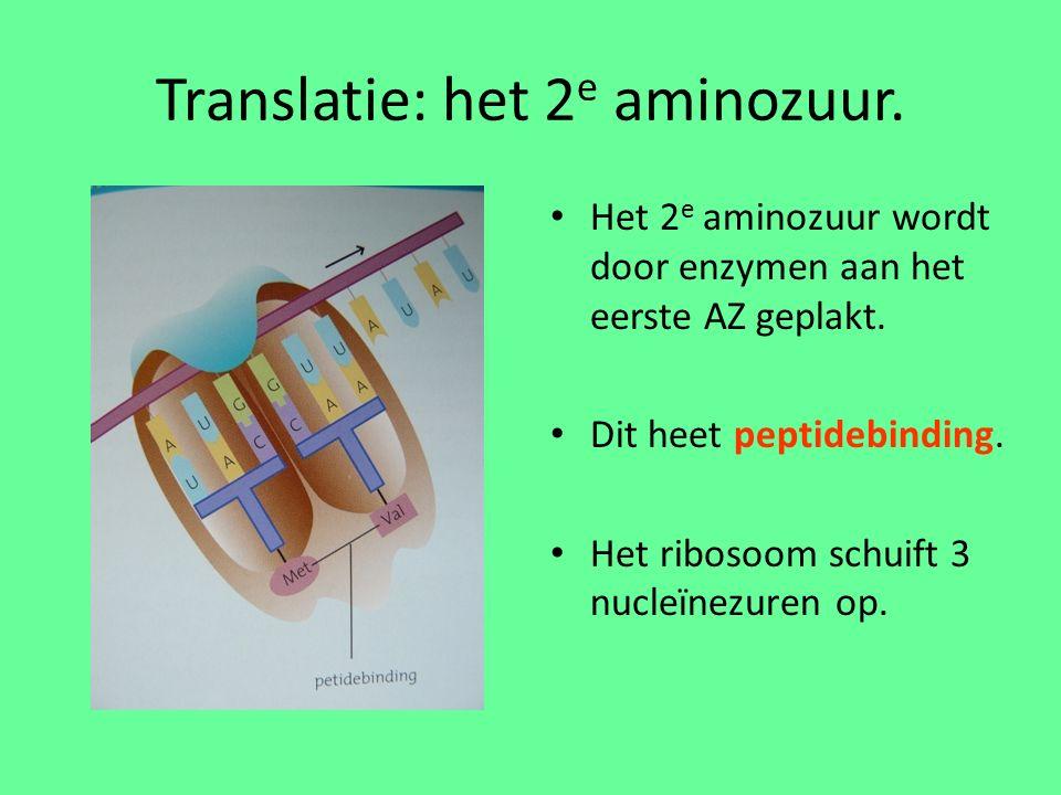 Translatie: het 2 e aminozuur.Het 2 e aminozuur wordt door enzymen aan het eerste AZ geplakt.