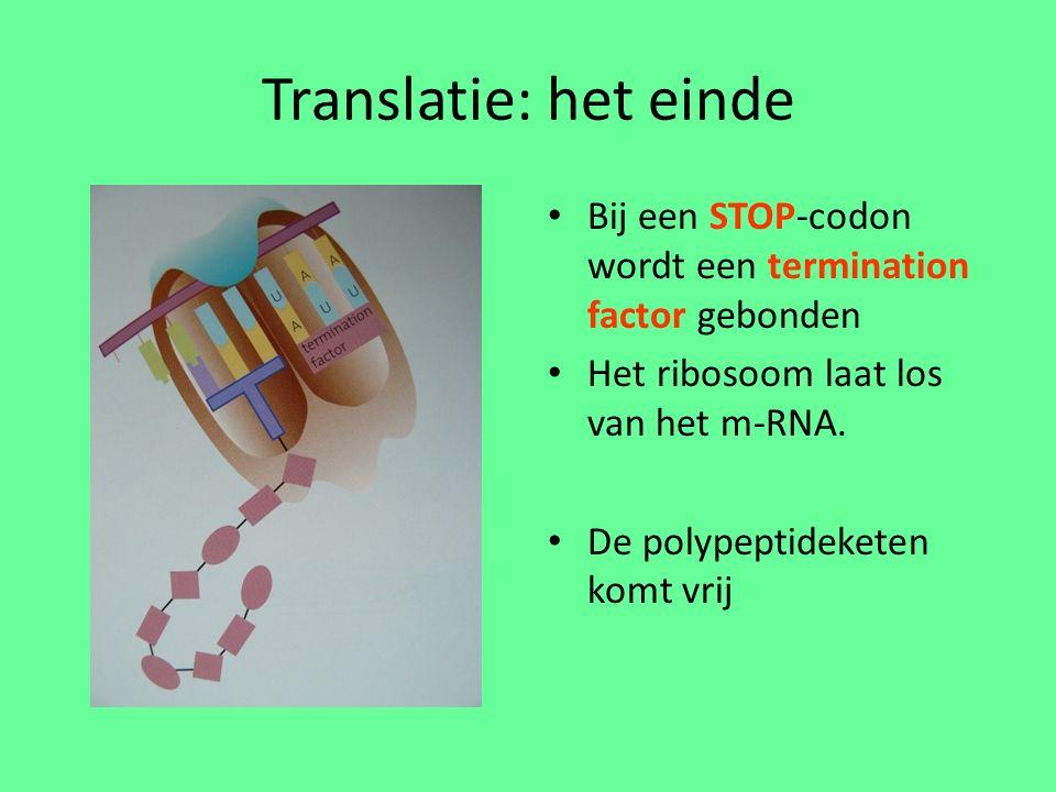 Translatie: het einde Bij een STOP-codon wordt een termination factor gebonden Het ribosoom laat los van het m-RNA.