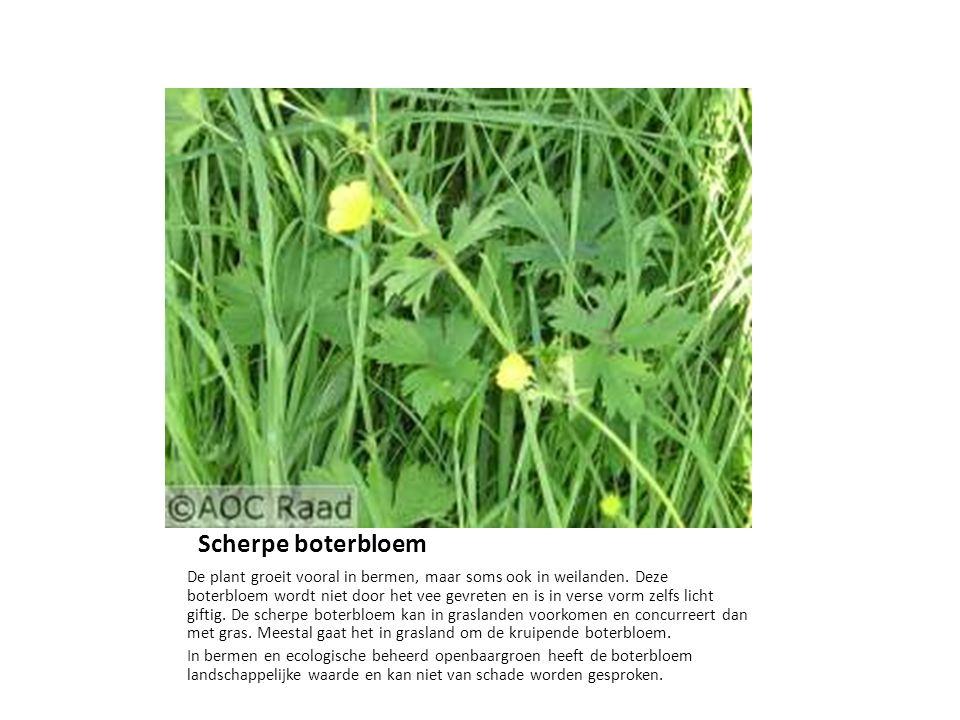 Scherpe boterbloem De plant groeit vooral in bermen, maar soms ook in weilanden. Deze boterbloem wordt niet door het vee gevreten en is in verse vorm