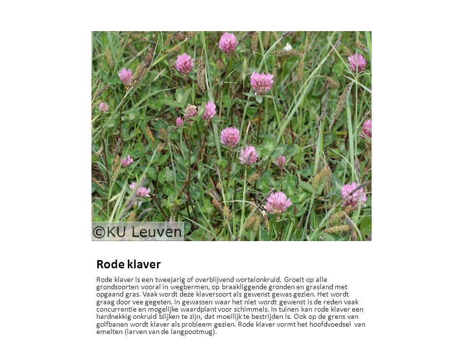 Rode klaver Rode klaver is een tweejarig of overblijvend wortelonkruid. Groeit op alle grondsoorten vooral in wegbermen, op braakliggende gronden en g