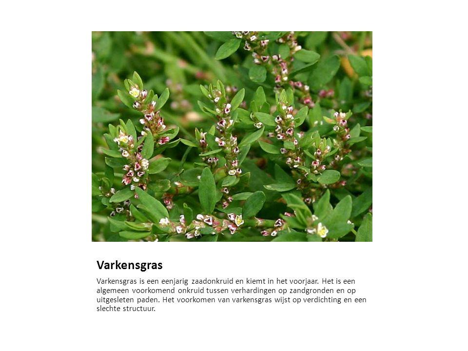 Varkensgras Varkensgras is een eenjarig zaadonkruid en kiemt in het voorjaar. Het is een algemeen voorkomend onkruid tussen verhardingen op zandgronde