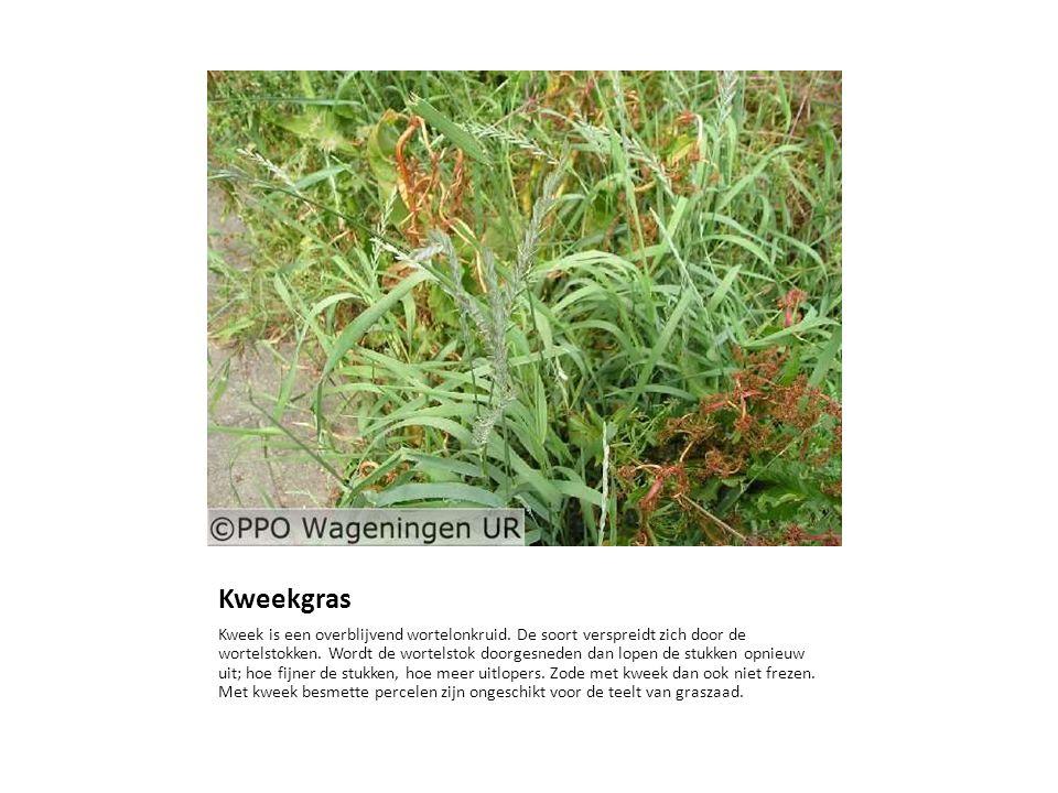 Kweekgras Kweek is een overblijvend wortelonkruid. De soort verspreidt zich door de wortelstokken. Wordt de wortelstok doorgesneden dan lopen de stukk