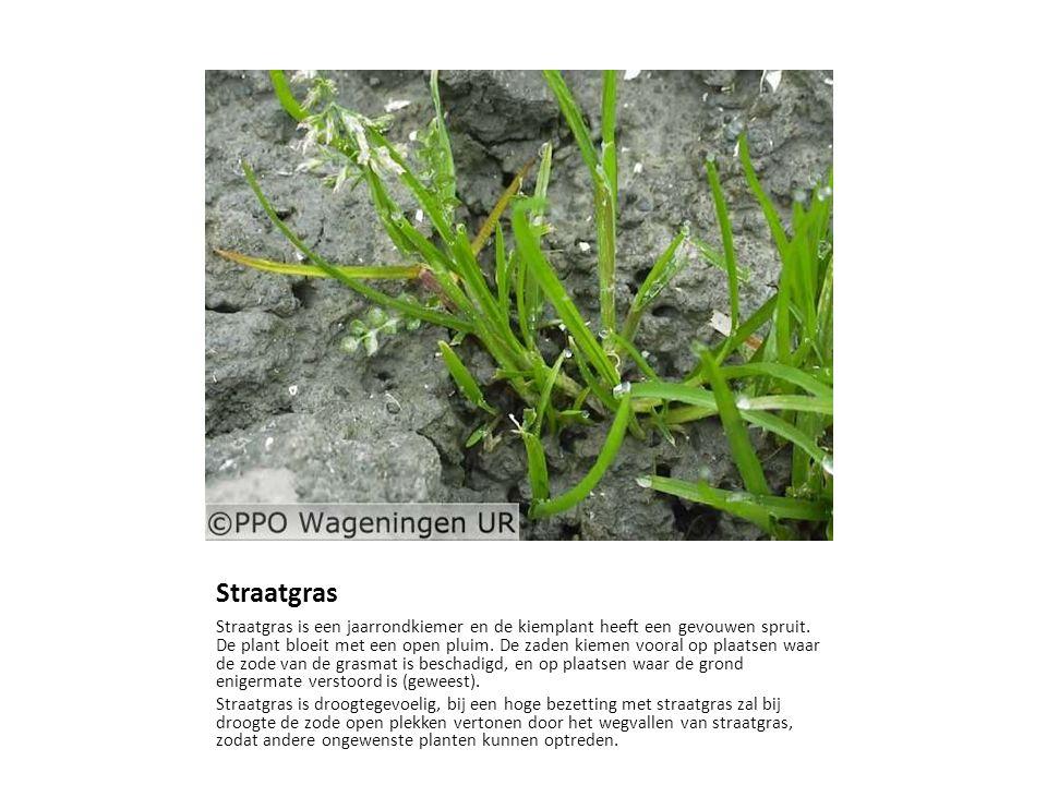 Straatgras Straatgras is een jaarrondkiemer en de kiemplant heeft een gevouwen spruit. De plant bloeit met een open pluim. De zaden kiemen vooral op p