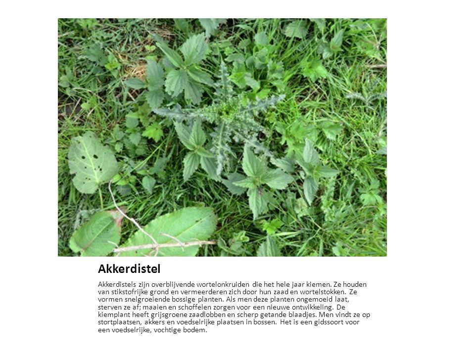 Akkerdistel Akkerdistels zijn overblijvende wortelonkruiden die het hele jaar kiemen. Ze houden van stikstofrijke grond en vermeerderen zich door hun