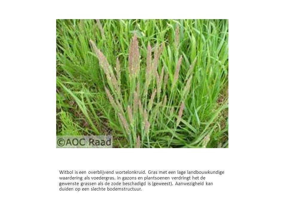 Witbol is een overblijvend wortelonkruid. Gras met een lage landbouwkundige waardering als voedergras. In gazons en plantsoenen verdringt het de gewen