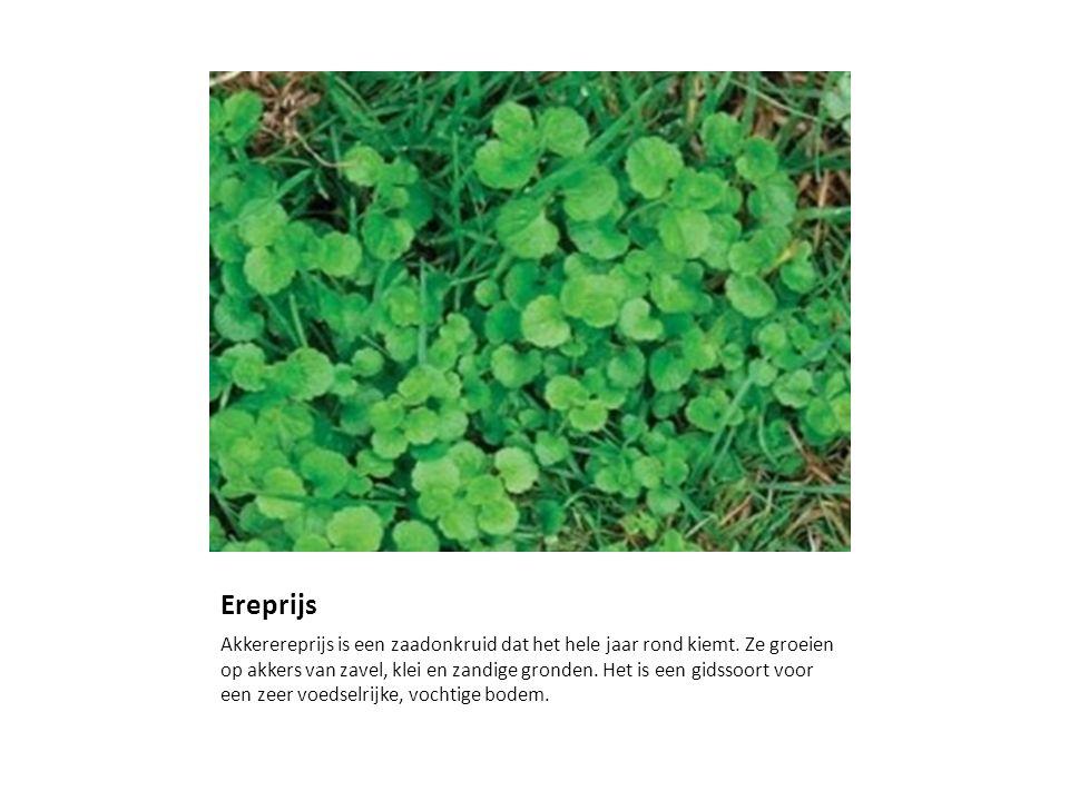 Ereprijs Akkerereprijs is een zaadonkruid dat het hele jaar rond kiemt. Ze groeien op akkers van zavel, klei en zandige gronden. Het is een gidssoort