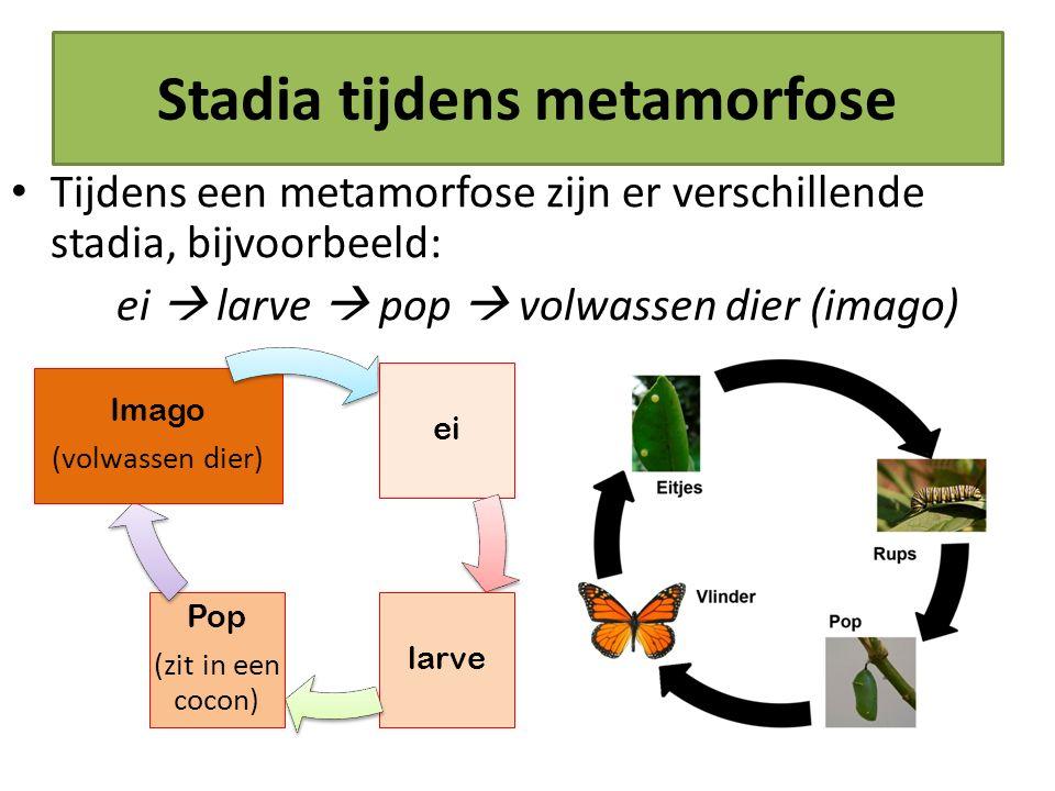Stadia tijdens metamorfose Tijdens een metamorfose zijn er verschillende stadia, bijvoorbeeld: ei  larve  pop  volwassen dier (imago) ei larve Pop