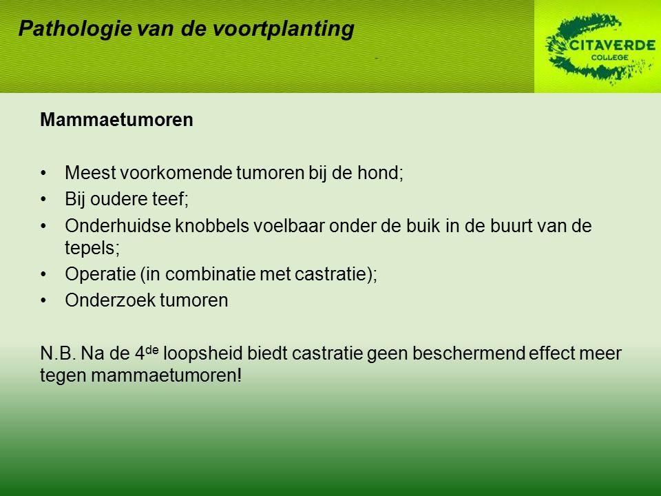 Mammaetumoren Meest voorkomende tumoren bij de hond; Bij oudere teef; Onderhuidse knobbels voelbaar onder de buik in de buurt van de tepels; Operatie
