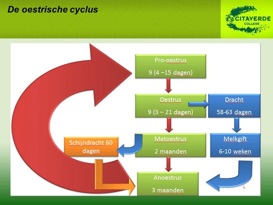 Ontsluitingsfase: Uteriene contracties (weeën); Teef soms onrustig en hijgt; Eventueel gebrek aan eetlust, braken en rillen.
