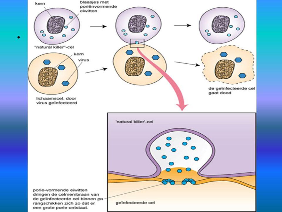 Natural killer-cellen schematisch Natural killer-cellen in actie: 1 x klikken
