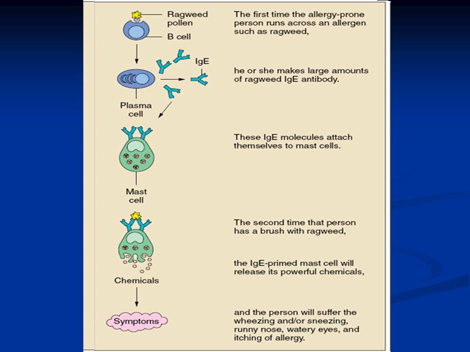 1. Antilichaam 2. Mestcel 3. Allergeen 4. Vrijgekomen histamine
