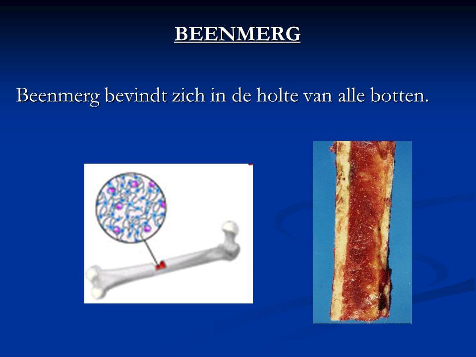 BEENMERG Beenmerg bevindt zich in de holte van alle botten.