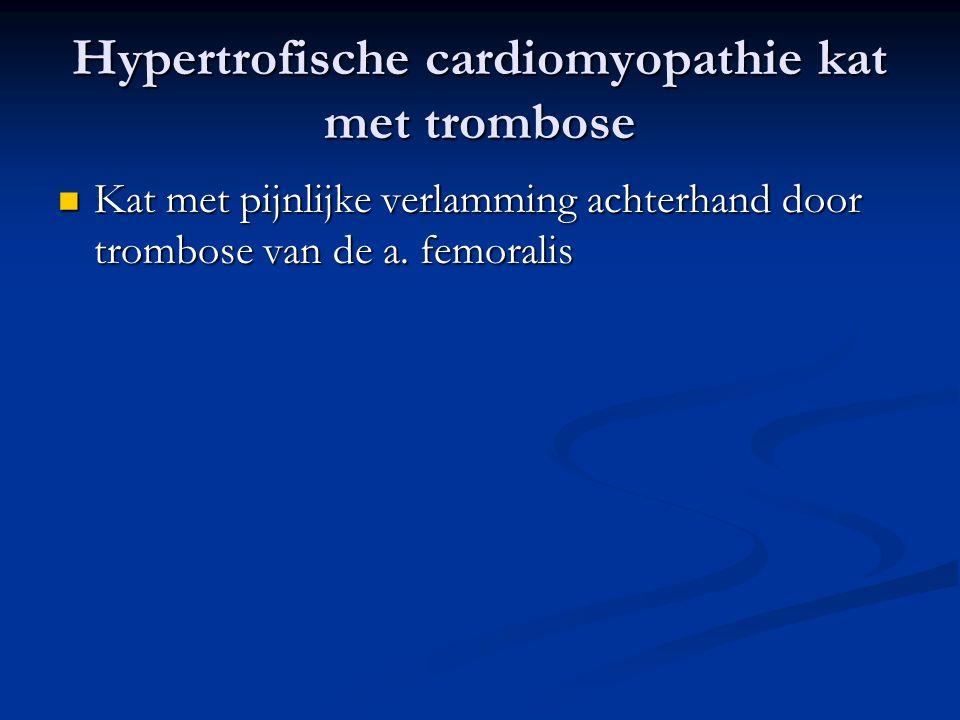 Hypertrofische cardiomyopathie kat met trombose Kat met pijnlijke verlamming achterhand door trombose van de a. femoralis Kat met pijnlijke verlamming