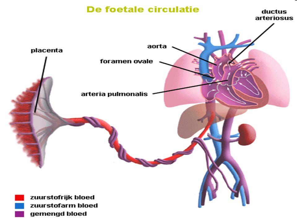 De foetale circulatie