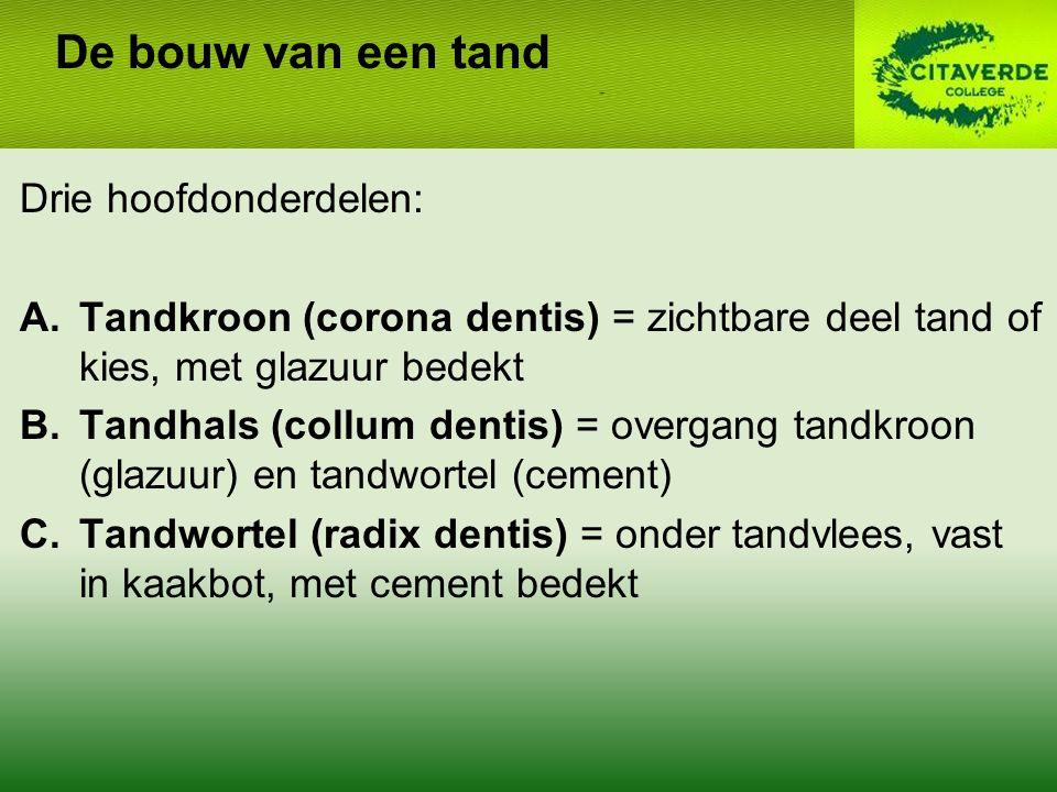 Drie hoofdonderdelen: A.Tandkroon (corona dentis) = zichtbare deel tand of kies, met glazuur bedekt B.Tandhals (collum dentis) = overgang tandkroon (glazuur) en tandwortel (cement) C.Tandwortel (radix dentis) = onder tandvlees, vast in kaakbot, met cement bedekt De bouw van een tand