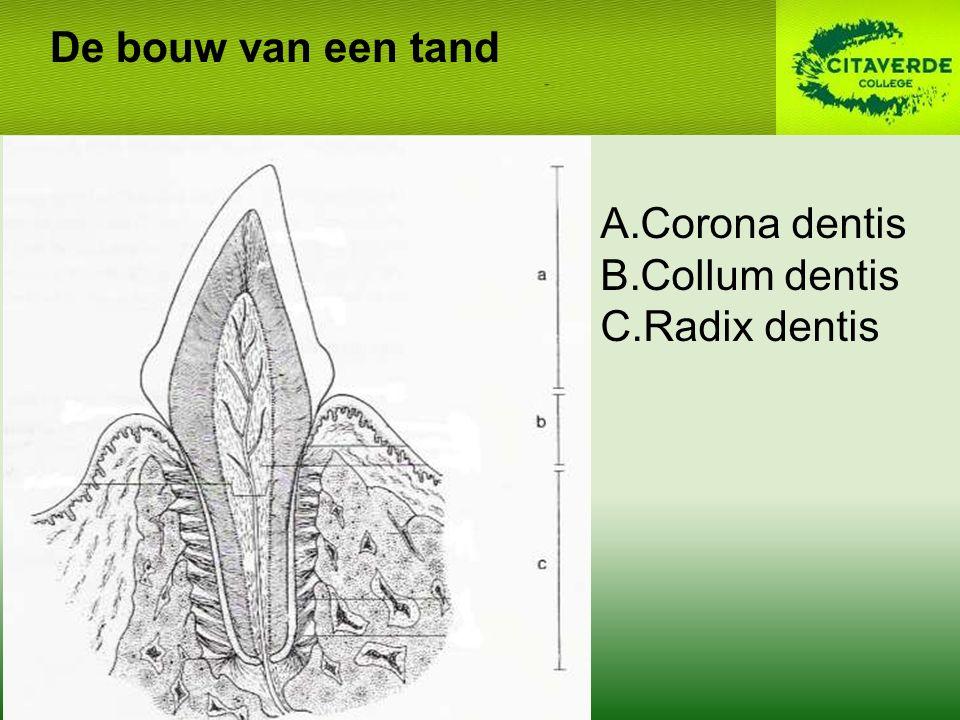 A.Corona dentis B.Collum dentis C.Radix dentis