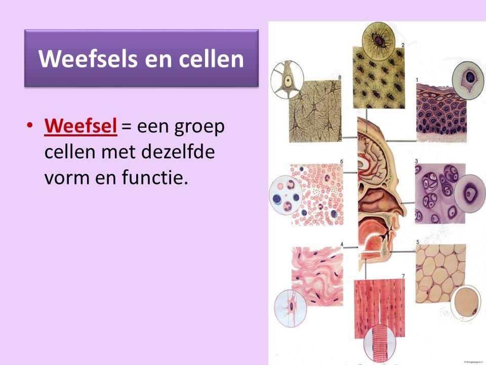 Weefsels en cellen: tussencelstof Soms liggen de cellen dicht tegen elkaar, soms is er ruimte tussen de cellen.