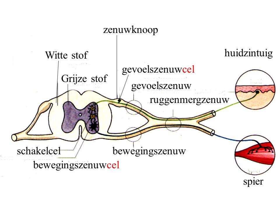 Witte stof Grijze stof schakelcel bewegingszenuwcel bewegingszenuw gevoelszenuw gevoelszenuwcel ruggenmergzenuw huidzintuig spier zenuwknoop