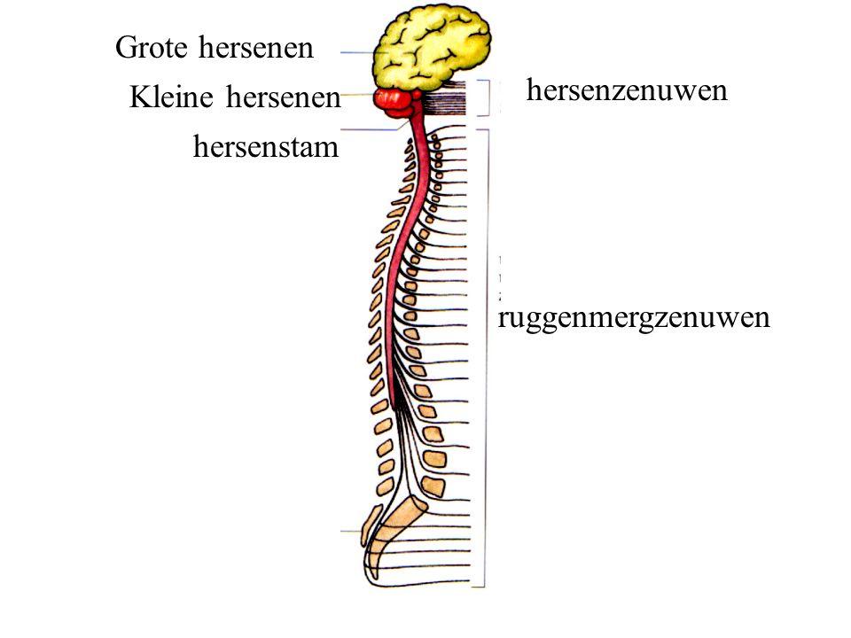 ruggenmergzenuwen hersenzenuwen Grote hersenen Kleine hersenen hersenstam