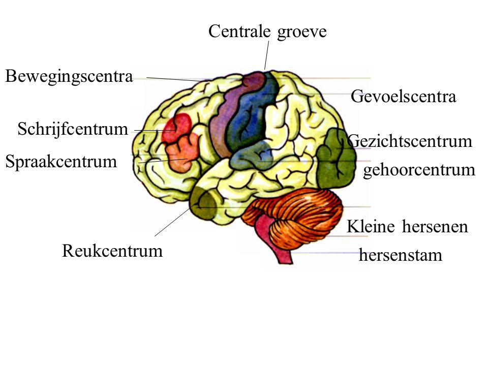 Centrale groeve Gevoelscentra Bewegingscentra Gezichtscentrum Schrijfcentrum Spraakcentrum gehoorcentrum Reukcentrum Kleine hersenen hersenstam