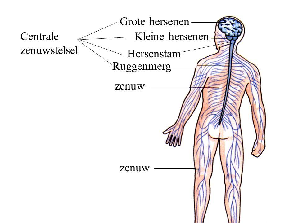 Grote hersenen Kleine hersenen Ruggenmerg zenuw Hersenstam Centrale zenuwstelsel