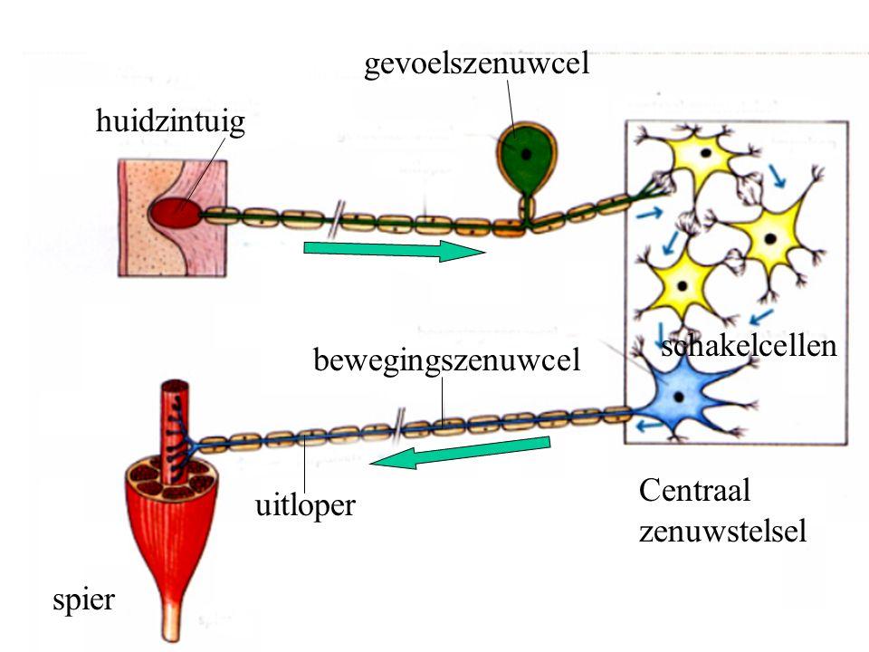 huidzintuig gevoelszenuwcel uitloper spier Centraal zenuwstelsel bewegingszenuwcel schakelcellen