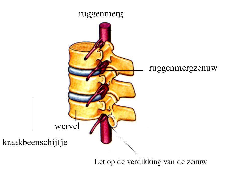 ruggenmerg ruggenmergzenuw wervel kraakbeenschijfje Let op de verdikking van de zenuw