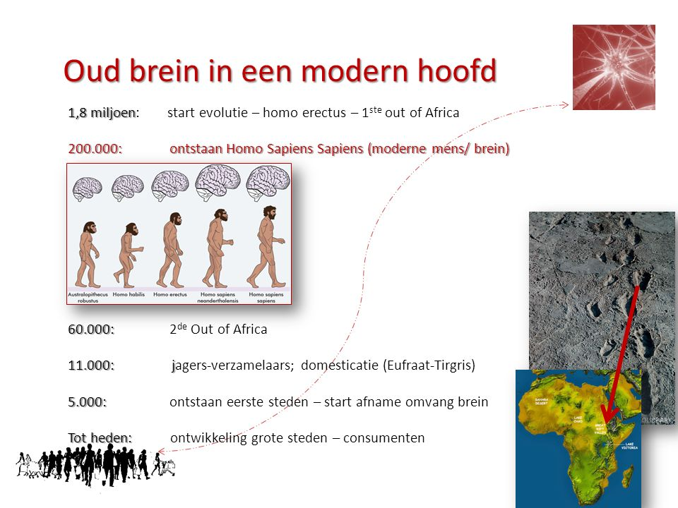 Oud brein in een modern hoofd 1,8 miljoen 1,8 miljoen: start evolutie – homo erectus – 1 ste out of Africa 200.000: ontstaan Homo Sapiens Sapiens (mod