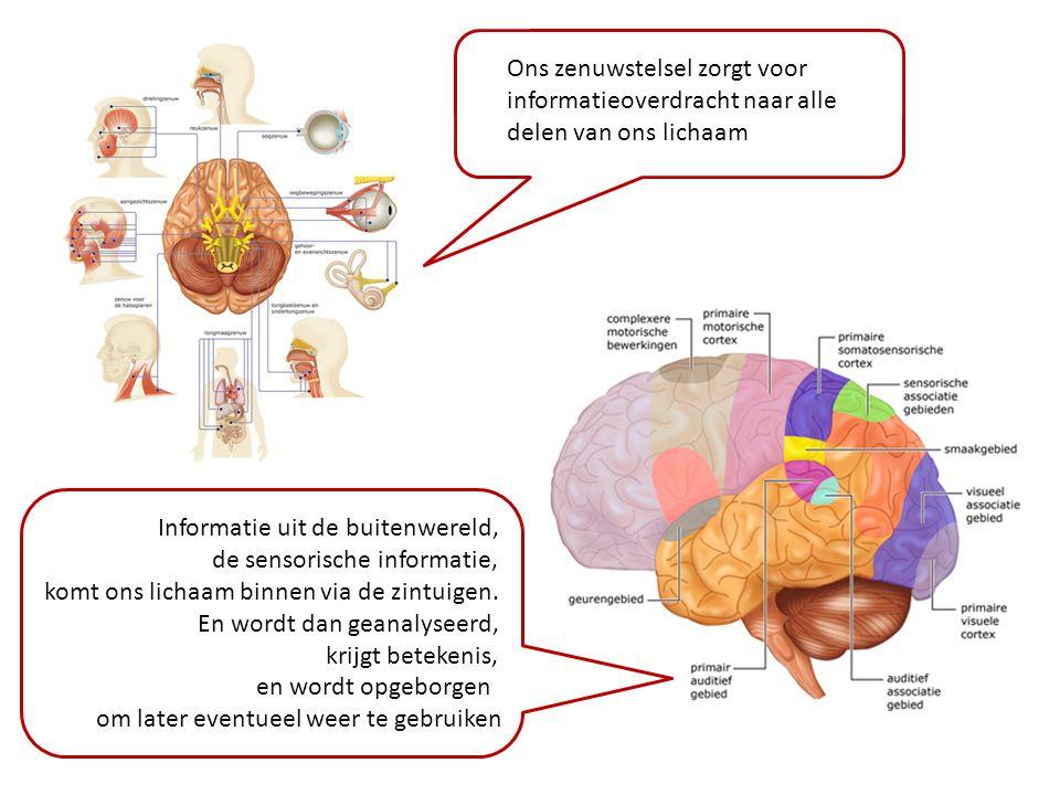 Ons zenuwstelsel zorgt voor informatieoverdracht naar alle delen van ons lichaam Informatie uit de buitenwereld, de sensorische informatie, komt ons l