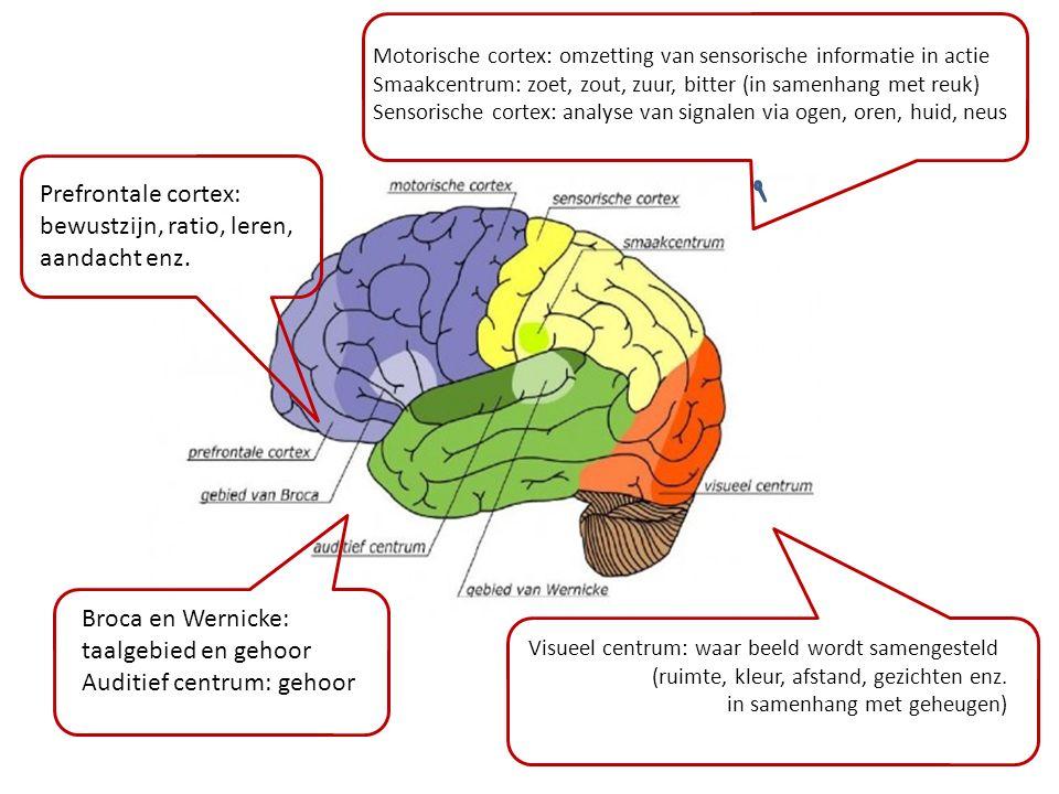 Visueel centrum: waar beeld wordt samengesteld (ruimte, kleur, afstand, gezichten enz. in samenhang met geheugen) Motorische cortex: omzetting van sen