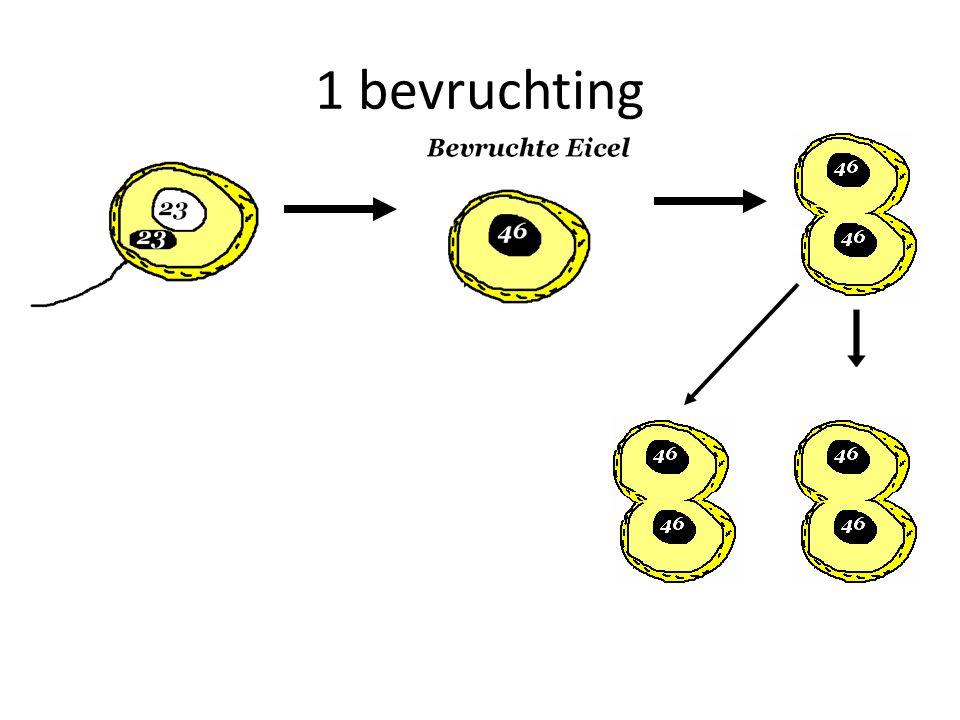 1 bevruchting