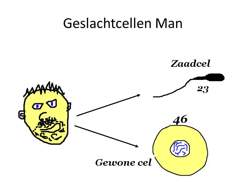 Geslachtcellen Man