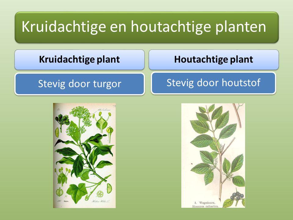 Kruidachtige en houtachtige planten Kruidachtige plant Stevig door turgor Houtachtige plant Stevig door houtstof