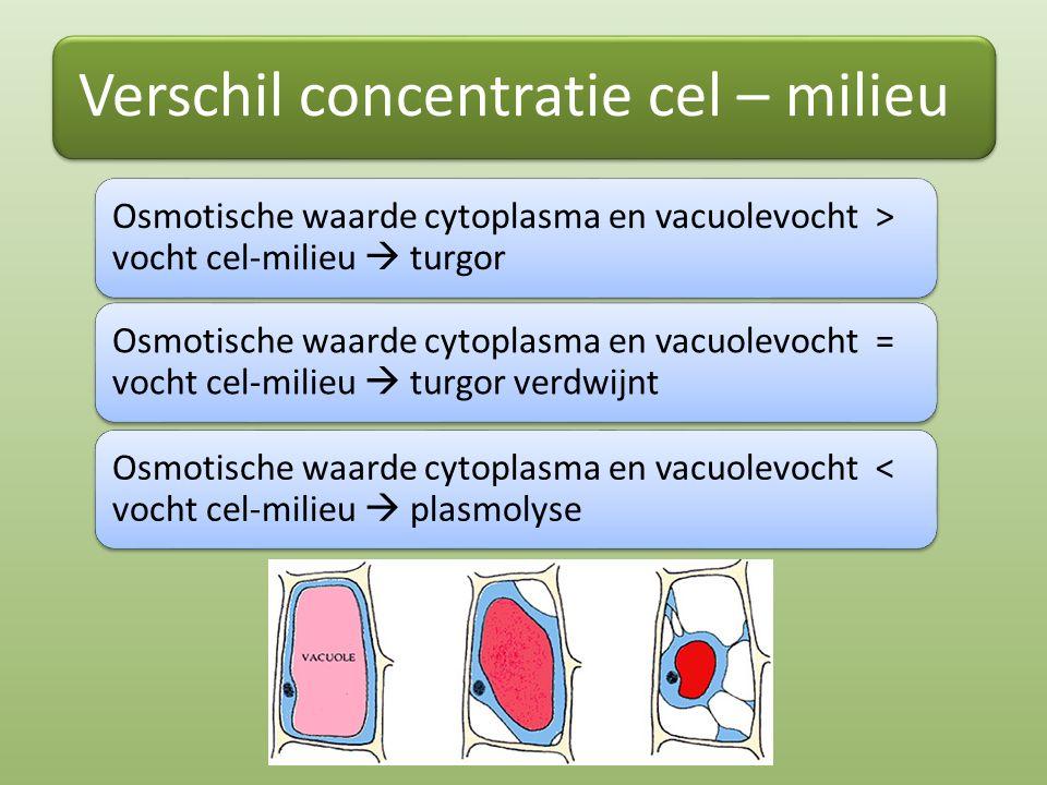 Verschil concentratie cel – milieu Osmotische waarde cytoplasma en vacuolevocht > vocht cel-milieu  turgor Osmotische waarde cytoplasma en vacuolevoc